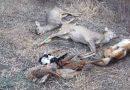 Inconștiența unor agricultori din Timiș și Arad a dus la otrăvirea a zeci de animale sălbatice