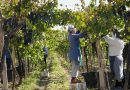 """Muncitori români, sclavi în viile din Italia: """"Dacă vrei să câștigi bani, trebuie să lucrezi până piși sânge"""""""