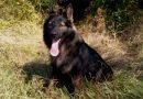 Bătrână din Neamț dată dispărută, găsită de câinele polițist Tad într-o zonă cu vegetație abundentă
